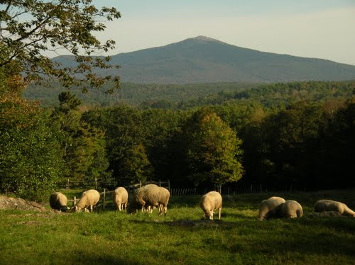 Sheep graze in Roxbury, oblivious to which town they are actually in.