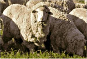 sheep-300x204